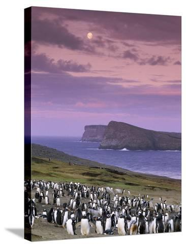 Gentoo Penguin Colony at Twilight, Pygoscelis Papua, Falkland Islands-Frans Lanting-Stretched Canvas Print