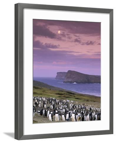 Gentoo Penguin Colony at Twilight, Pygoscelis Papua, Falkland Islands-Frans Lanting-Framed Art Print