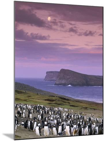 Gentoo Penguin Colony at Twilight, Pygoscelis Papua, Falkland Islands-Frans Lanting-Mounted Photographic Print