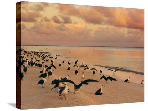 Laysan Albatross Juveniles on the Beach, Phoebastria Immutabilis, Midway Atoll, Hawaiian Leeward Is-Frans Lanting-Stretched Canvas Print