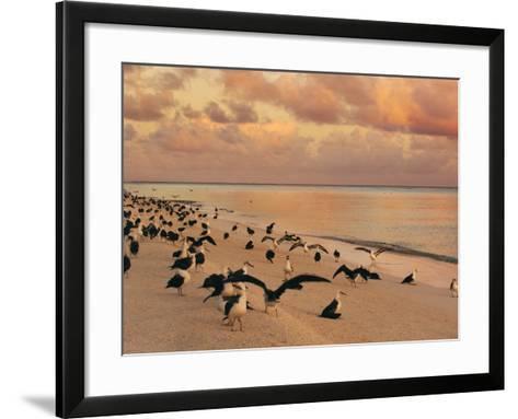 Laysan Albatross Juveniles on the Beach, Phoebastria Immutabilis, Midway Atoll, Hawaiian Leeward Is-Frans Lanting-Framed Art Print