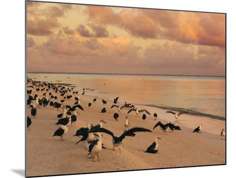 Laysan Albatross Juveniles on the Beach, Phoebastria Immutabilis, Midway Atoll, Hawaiian Leeward Is-Frans Lanting-Mounted Photographic Print