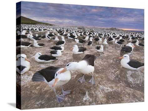 Black-Browed Albatrosses Courting, Thalassarche Melanophrys, Steeple Jason Island, Falkland Islands-Frans Lanting-Stretched Canvas Print