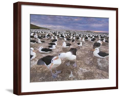 Black-Browed Albatrosses Courting, Thalassarche Melanophrys, Steeple Jason Island, Falkland Islands-Frans Lanting-Framed Art Print