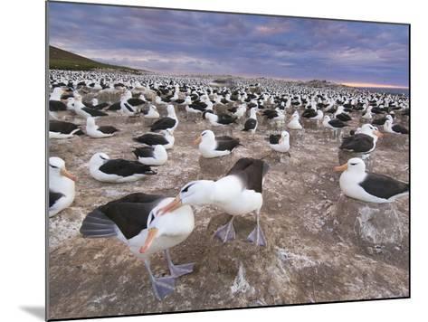 Black-Browed Albatrosses Courting, Thalassarche Melanophrys, Steeple Jason Island, Falkland Islands-Frans Lanting-Mounted Photographic Print