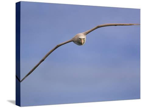 Salvin's Albatross in Flight, Thalassarche Salvini, New Zealand-Frans Lanting-Stretched Canvas Print