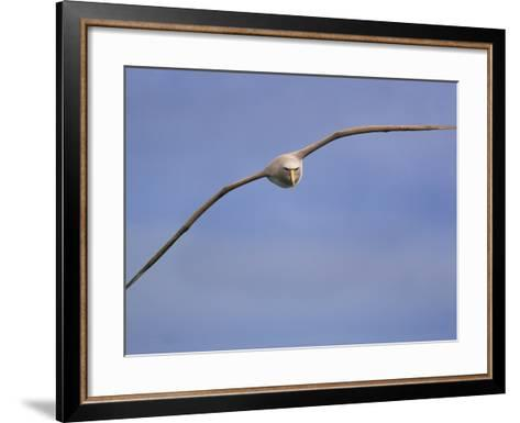Salvin's Albatross in Flight, Thalassarche Salvini, New Zealand-Frans Lanting-Framed Art Print