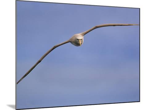 Salvin's Albatross in Flight, Thalassarche Salvini, New Zealand-Frans Lanting-Mounted Photographic Print