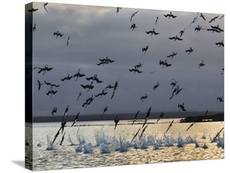 Blue-Footed Boobies Diving for Fish, Sula Nebouxii, Galapagos Islands-Frans Lanting-Stretched Canvas Print
