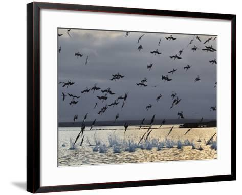 Blue-Footed Boobies Diving for Fish, Sula Nebouxii, Galapagos Islands-Frans Lanting-Framed Art Print