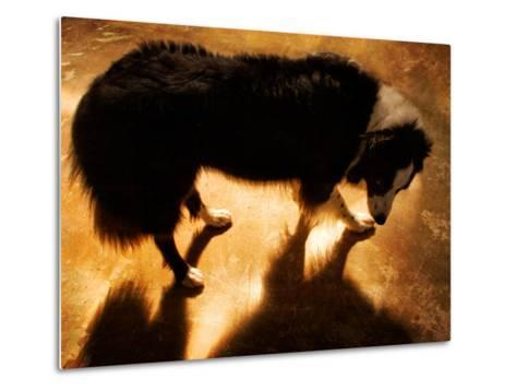 A Collie Dog Standing in the Evening Sunlight-Susan Bein-Metal Print