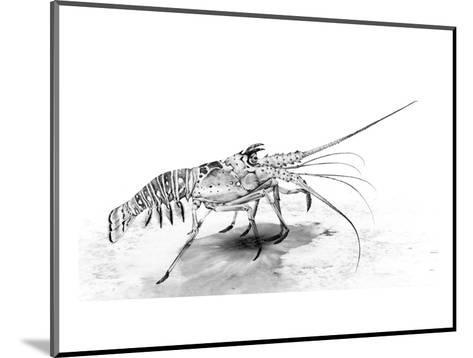 Spiny Lobster-Jane Kim-Mounted Premium Giclee Print