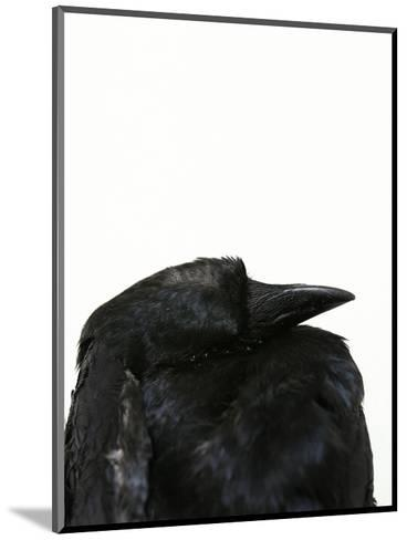 Crow Head-Judy Tuwaletstiwa-Mounted Premium Giclee Print