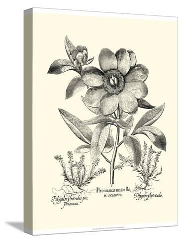 Black and White Besler Peony I-Besler Basilius-Stretched Canvas Print