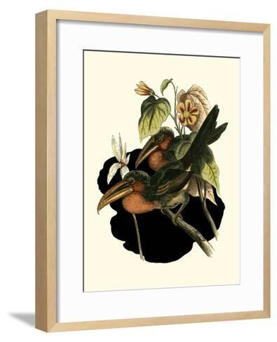 Curl Crested Aracari-Vision Studio-Framed Art Print