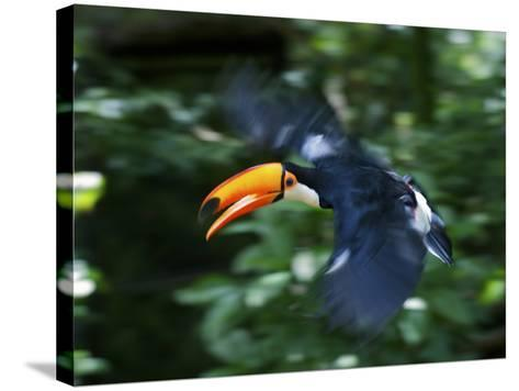 Toco Toucan (Ramphastos Toco) Flying Through the Rainforest, Brazil, Argentina-Andres Morya Hinojosa-Stretched Canvas Print