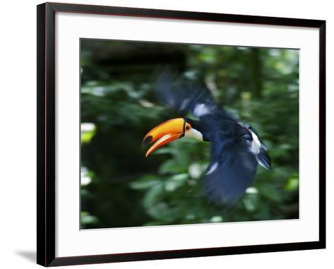 Toco Toucan (Ramphastos Toco) Flying Through the Rainforest, Brazil, Argentina-Andres Morya Hinojosa-Framed Art Print