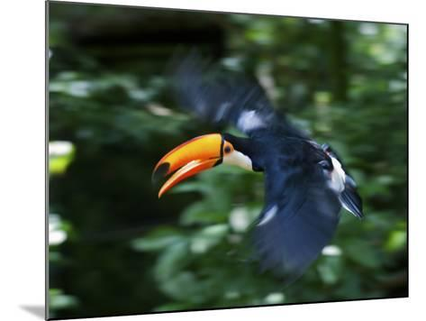 Toco Toucan (Ramphastos Toco) Flying Through the Rainforest, Brazil, Argentina-Andres Morya Hinojosa-Mounted Photographic Print