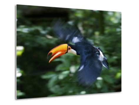 Toco Toucan (Ramphastos Toco) Flying Through the Rainforest, Brazil, Argentina-Andres Morya Hinojosa-Metal Print