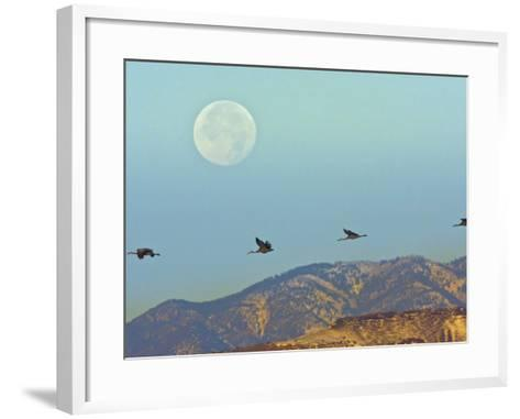 Sandhill Cranes, Bosque Del Apache National Wildlife Refuge, New Mexico, USA-Cathy & Gordon Illg-Framed Art Print