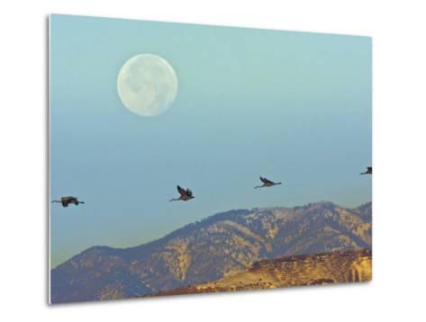 Sandhill Cranes, Bosque Del Apache National Wildlife Refuge, New Mexico, USA-Cathy & Gordon Illg-Metal Print