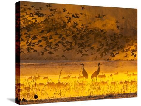 Sandhill Cranes, Bosque Del Apache National Wildlife Refuge, New Mexico, USA-Cathy & Gordon Illg-Stretched Canvas Print