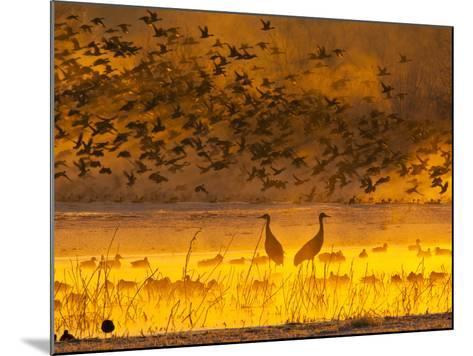 Sandhill Cranes, Bosque Del Apache National Wildlife Refuge, New Mexico, USA-Cathy & Gordon Illg-Mounted Photographic Print