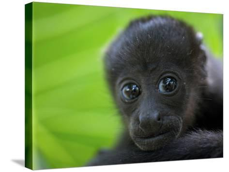 The Mantled Howler, Costa Rica-Andres Morya Hinojosa-Stretched Canvas Print