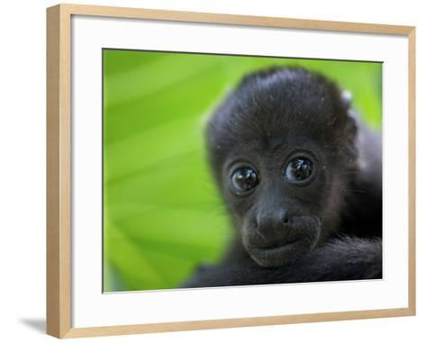 The Mantled Howler, Costa Rica-Andres Morya Hinojosa-Framed Art Print