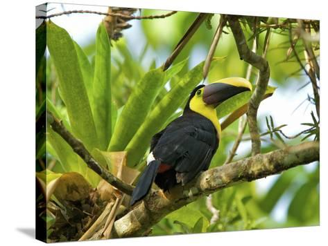 The Chestnut-Mandibled Toucan, or Swainson's Toucan (Ramphastos Swainsonii), Costa Rica-Andres Morya Hinojosa-Stretched Canvas Print