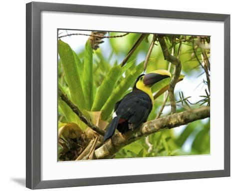 The Chestnut-Mandibled Toucan, or Swainson's Toucan (Ramphastos Swainsonii), Costa Rica-Andres Morya Hinojosa-Framed Art Print
