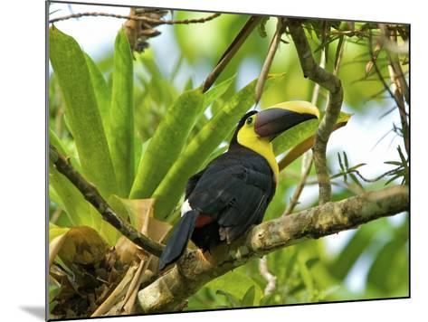 The Chestnut-Mandibled Toucan, or Swainson's Toucan (Ramphastos Swainsonii), Costa Rica-Andres Morya Hinojosa-Mounted Photographic Print