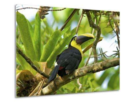 The Chestnut-Mandibled Toucan, or Swainson's Toucan (Ramphastos Swainsonii), Costa Rica-Andres Morya Hinojosa-Metal Print