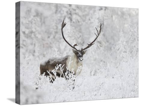 Caribou, Finger Mountain, Alaska, USA-Hugh Rose-Stretched Canvas Print
