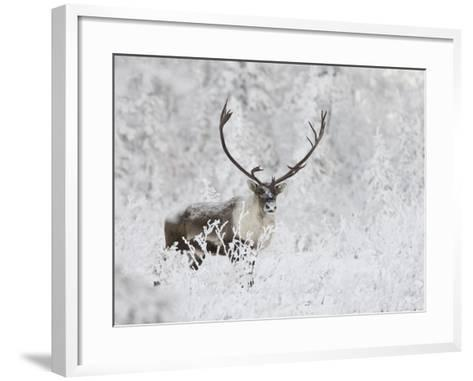 Caribou, Finger Mountain, Alaska, USA-Hugh Rose-Framed Art Print