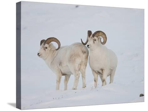Dall Sheep Rams, Arctic National Wildlife Refuge, Alaska, USA-Hugh Rose-Stretched Canvas Print
