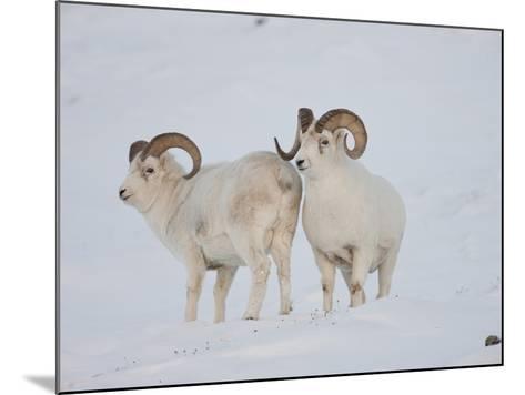 Dall Sheep Rams, Arctic National Wildlife Refuge, Alaska, USA-Hugh Rose-Mounted Photographic Print