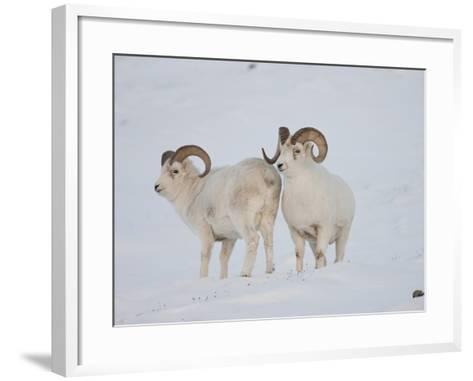 Dall Sheep Rams, Arctic National Wildlife Refuge, Alaska, USA-Hugh Rose-Framed Art Print