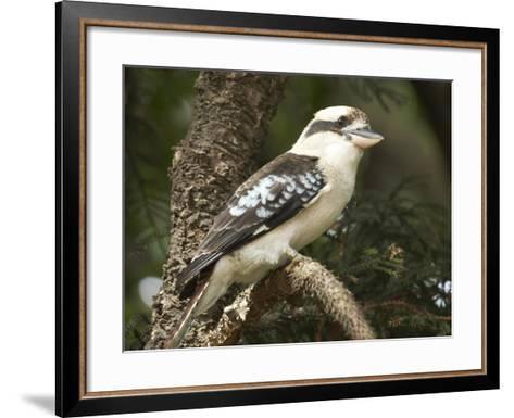 Laughing Kookaburra (Dacelo Novaeguineae or Dacelo Gigas), Sydney, New South Wales, Australia-David Wall-Framed Art Print
