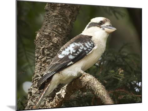 Laughing Kookaburra (Dacelo Novaeguineae or Dacelo Gigas), Sydney, New South Wales, Australia-David Wall-Mounted Photographic Print