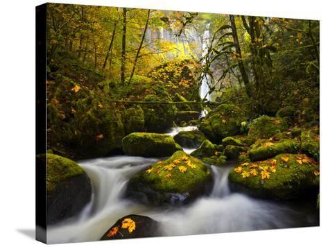 A Rushing Mccord Creek with Yellow Fall Color from Bigleaf Maple, Columbia Gorge, Oregon, USA-Gary Luhm-Stretched Canvas Print