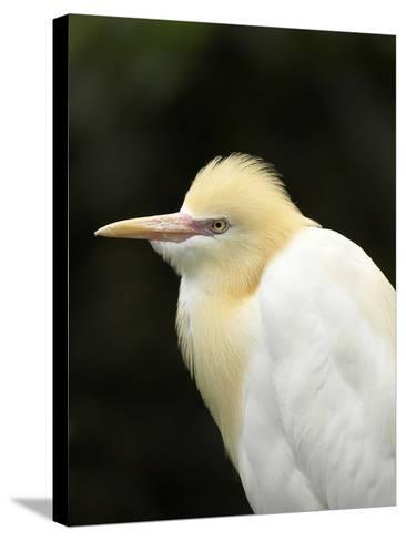Cattle Egret (Ardea Ibis), North Queensland, Australia-David Wall-Stretched Canvas Print