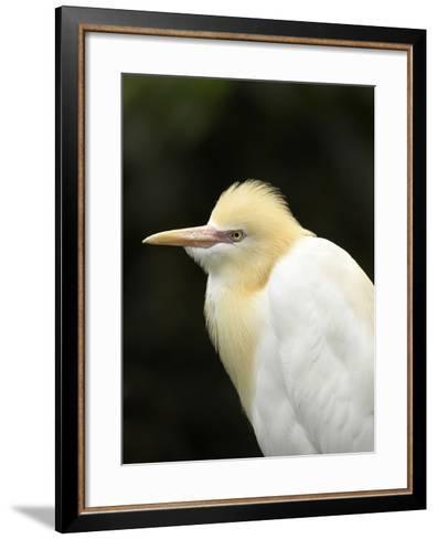 Cattle Egret (Ardea Ibis), North Queensland, Australia-David Wall-Framed Art Print