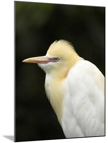 Cattle Egret (Ardea Ibis), North Queensland, Australia-David Wall-Mounted Photographic Print