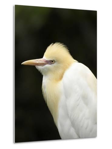 Cattle Egret (Ardea Ibis), North Queensland, Australia-David Wall-Metal Print