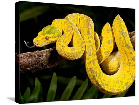 Green Tree Python, Morelia (Chondropython) Viridis, Native to New Guinea-David Northcott-Stretched Canvas Print