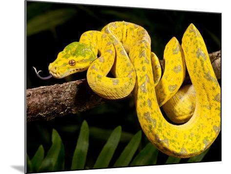 Green Tree Python, Morelia (Chondropython) Viridis, Native to New Guinea-David Northcott-Mounted Photographic Print