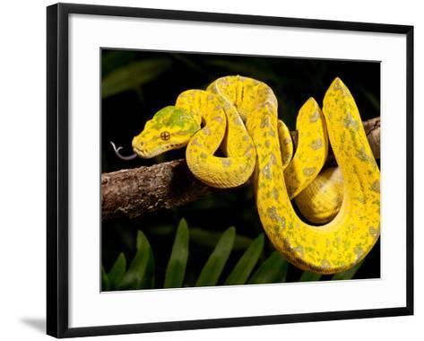Green Tree Python, Morelia (Chondropython) Viridis, Native to New Guinea-David Northcott-Framed Art Print