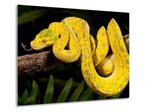 Green Tree Python, Morelia (Chondropython) Viridis, Native to New Guinea-David Northcott-Metal Print