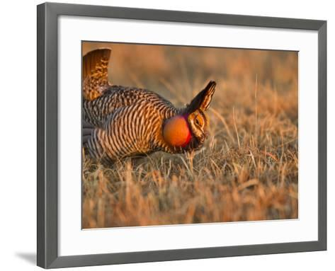 Male Prairie Chickens at Lek in Loup County, Nebraska, USA-Chuck Haney-Framed Art Print